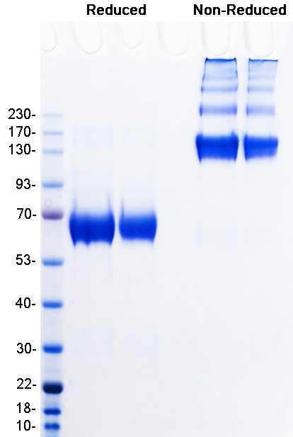 SDS-PAGE of hIgG1 Fc fusion protein R vs NR